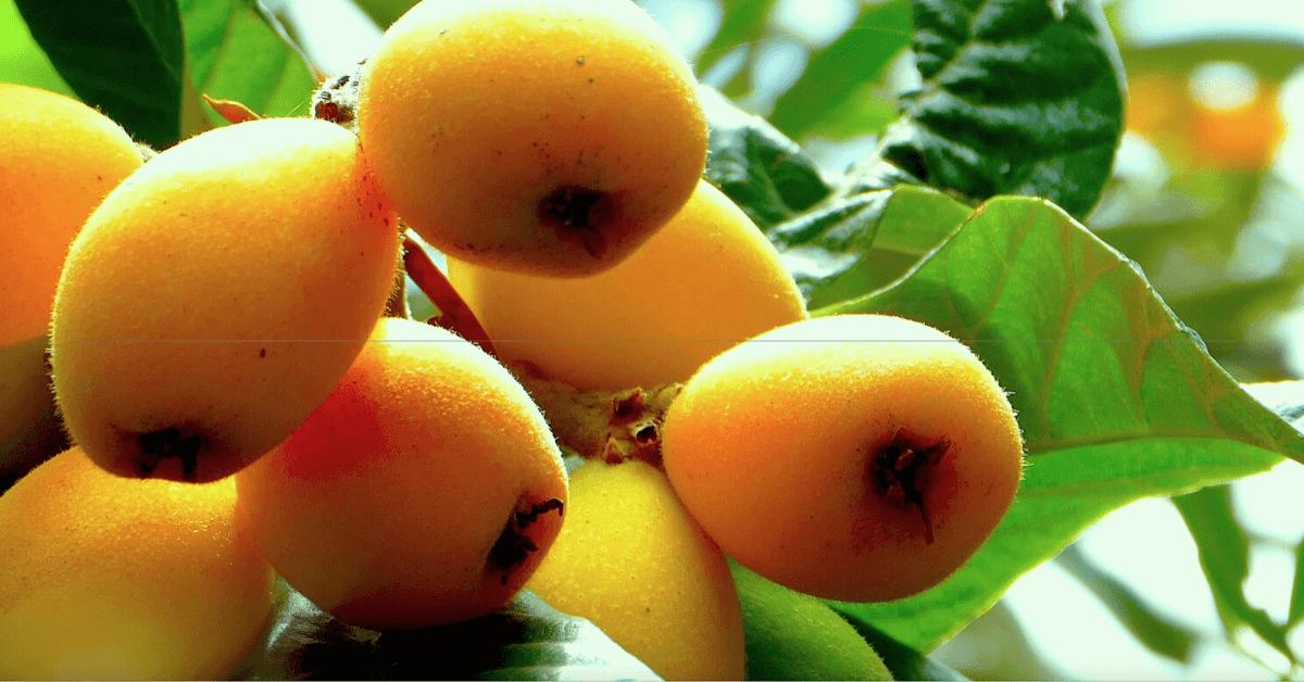 hojas de nispero para la diabetes