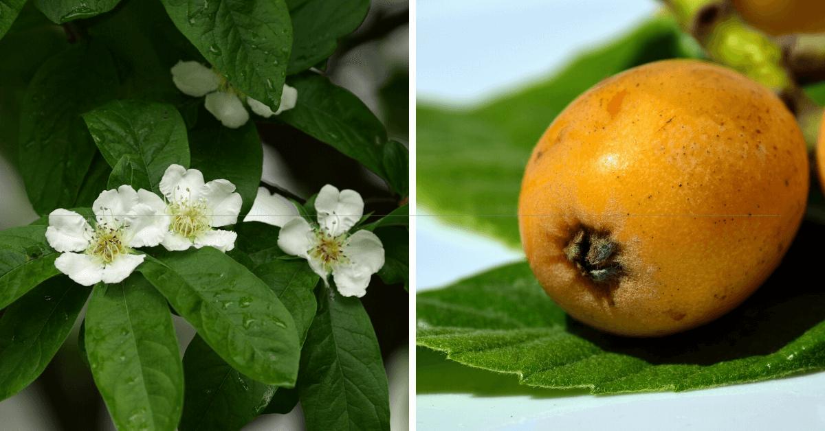 propiedades y beneficios de las hojas de nispero