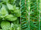 Beneficios de la hierbabuena con romero